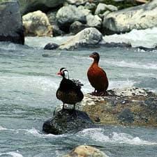 Pato Torrent na Trilha Inca